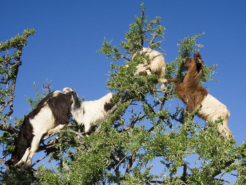 Tree climbing goats Morocco
