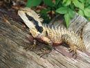 Lizard Aus.