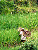 Lombok Ricefield