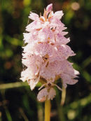 Moorland Orchid
