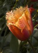 Tilip,Enys Gardens