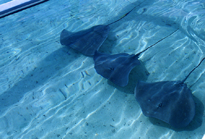 Stingrays, Bora Bora, Tahiti