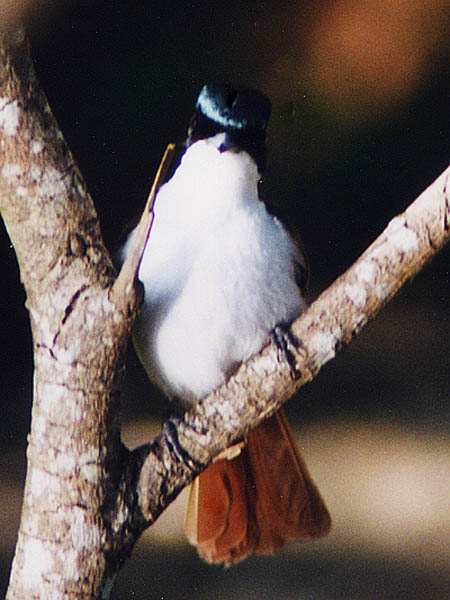 Fly Catcher Queensland
