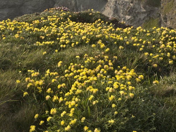 Cliff Flowers