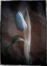 19 Tulip