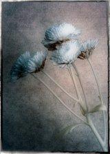 20 Chrysanthemum