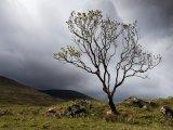 Lone Tree Mull