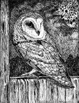 Barn owl, Bushett's Farm
