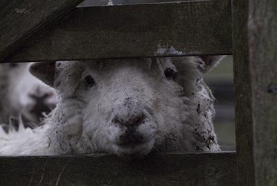 Sheep at gate, Kingcombe, Dorset