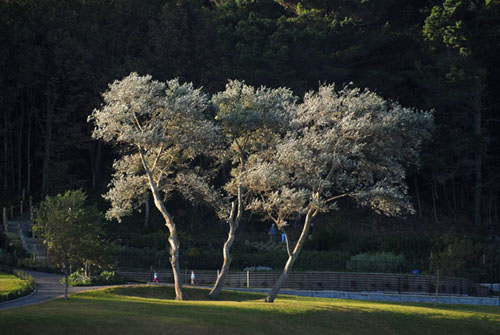 Sunlit trees in the sea front gardens at Lyme Regis