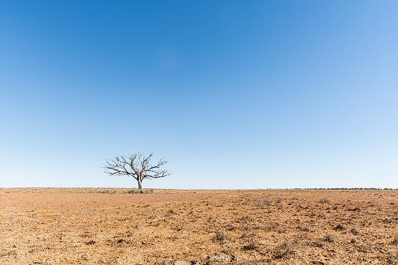 Oodnadatta Tree