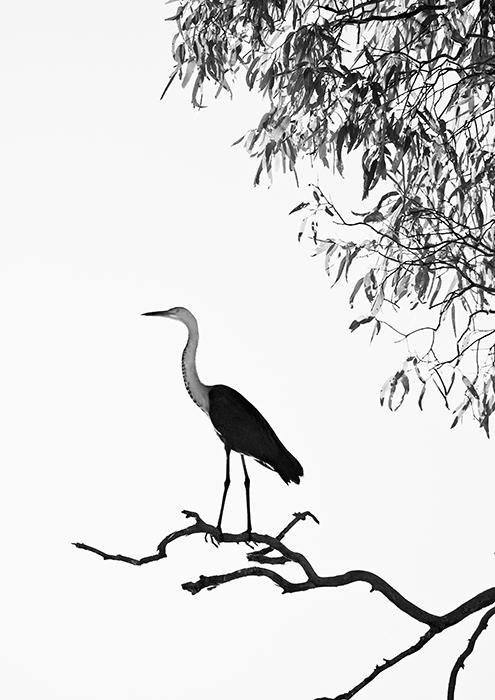 Pacific Heron