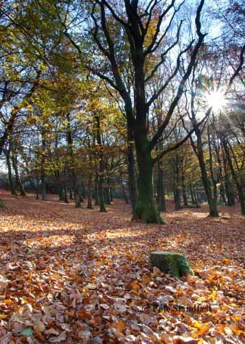 Autumn Beech trees