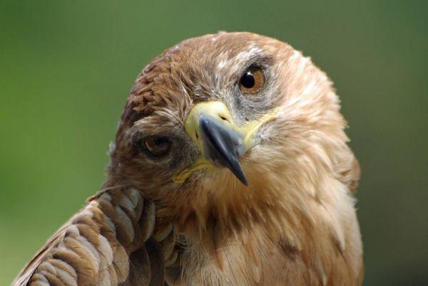 Inquisitive Hawk