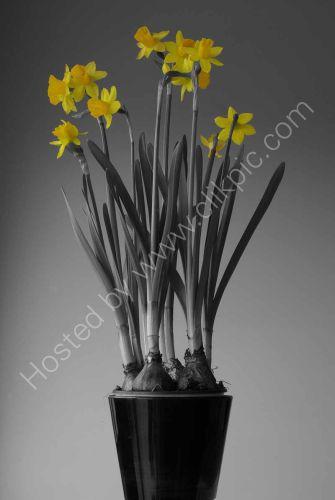 Daffodils monomix