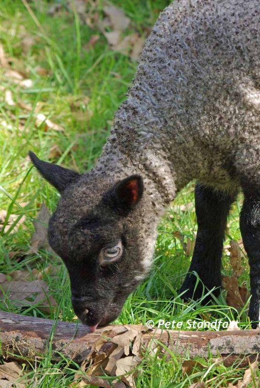 Inquisitive lamb
