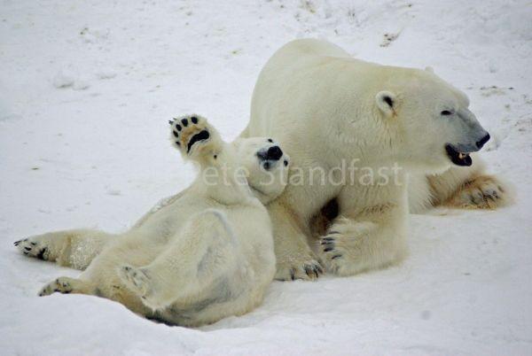 Polar bears playing II