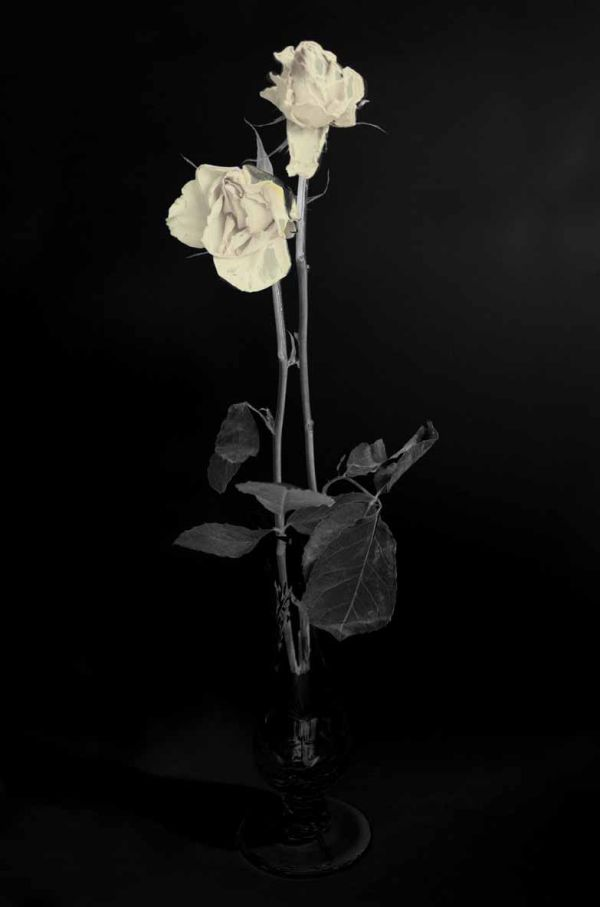 Wilted roses in mono