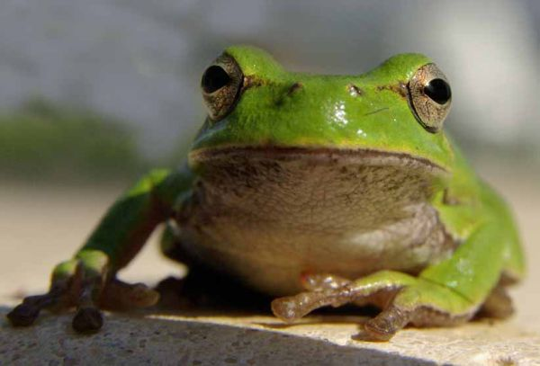 Corsican tree frog looking relaxed