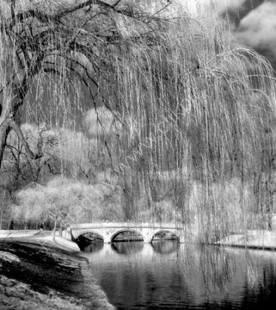 Spring Willows 2.