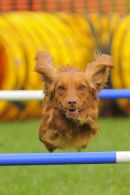 Working Cocker at Agility