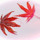 Acer Leaves Red Shadows