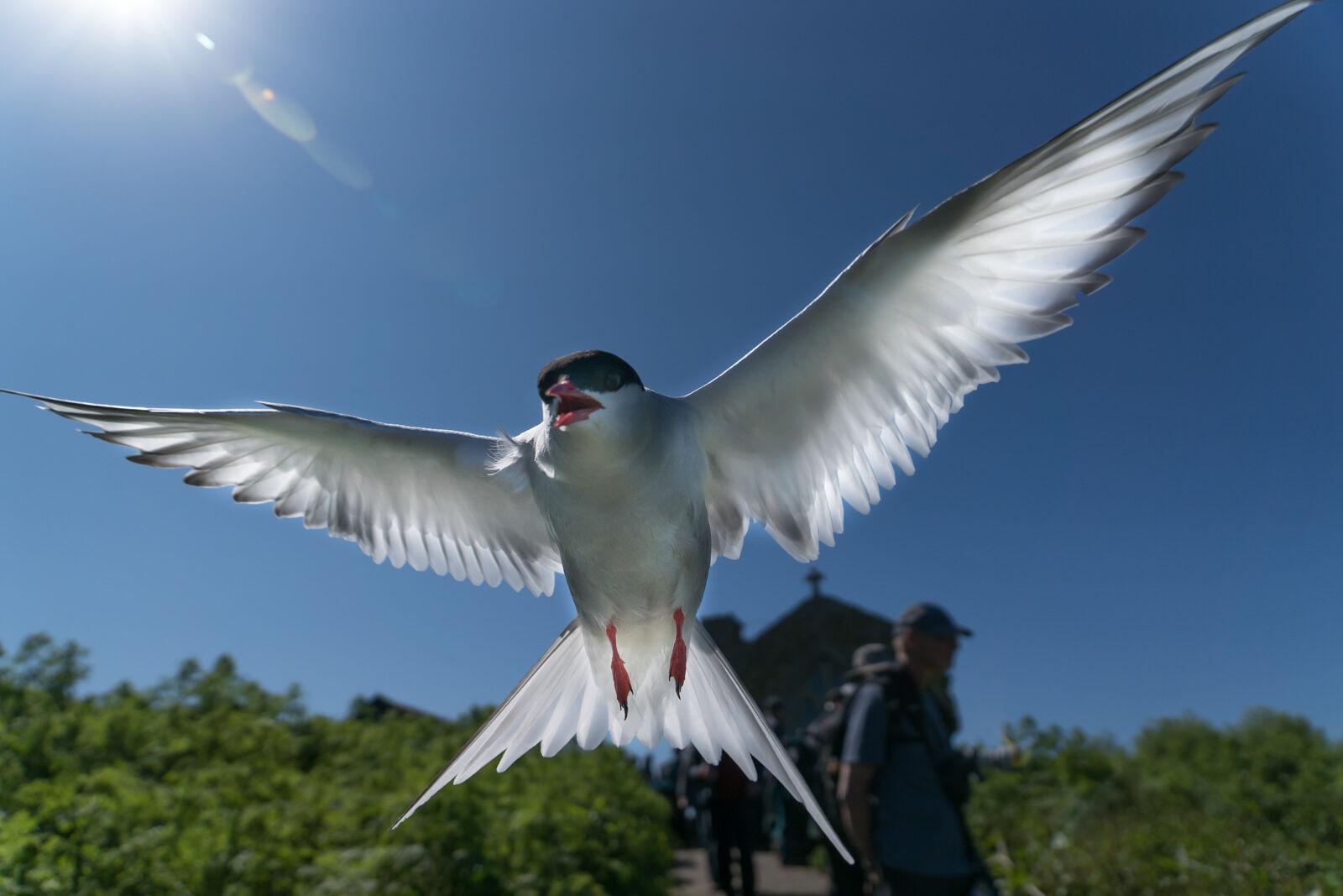 Attacking Tern