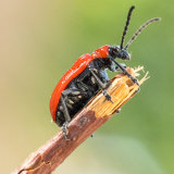 Cardinal Beetle On The Lookout