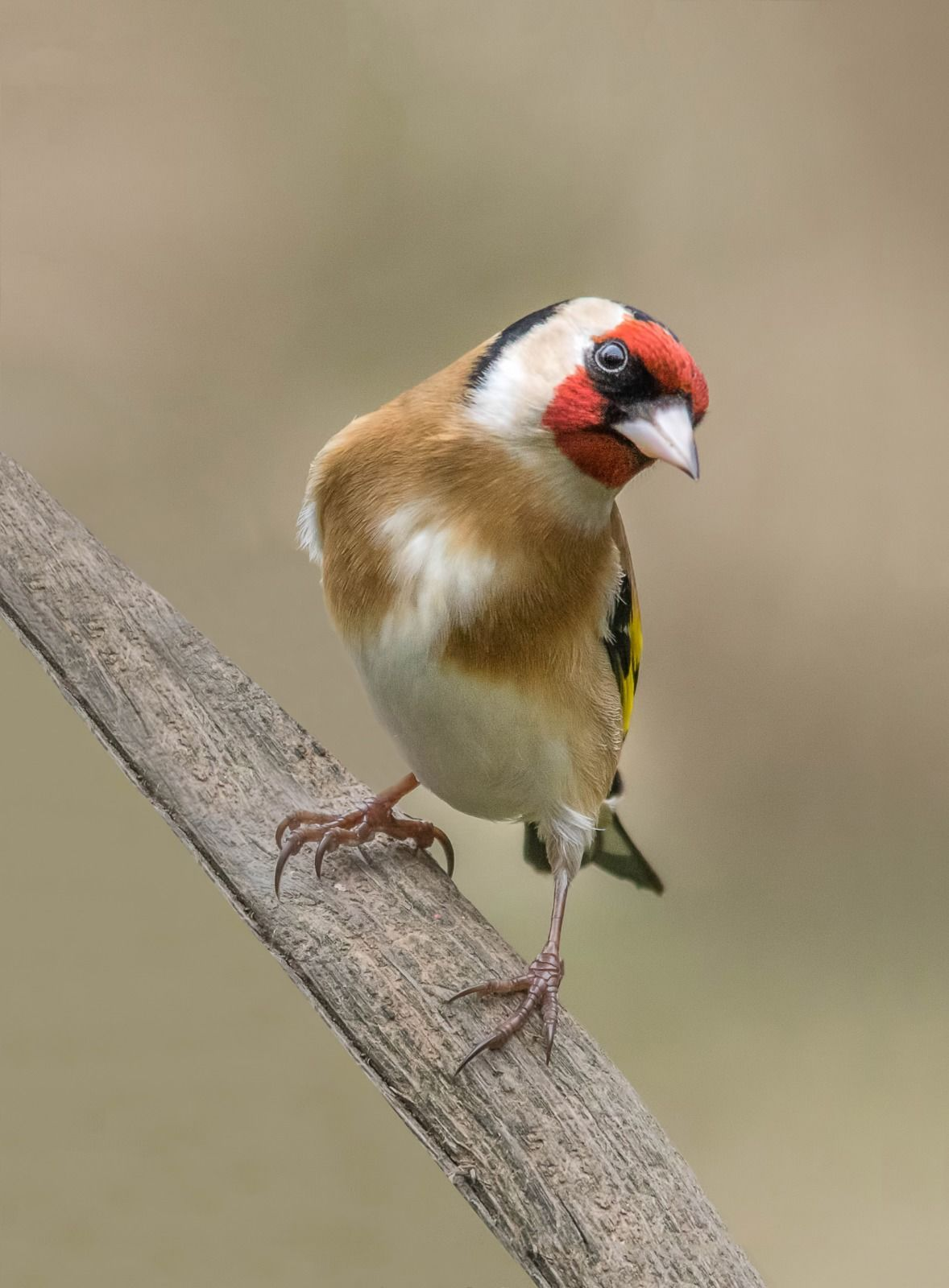 Goldfinch On Perch