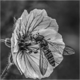 Hoverfly Feeding