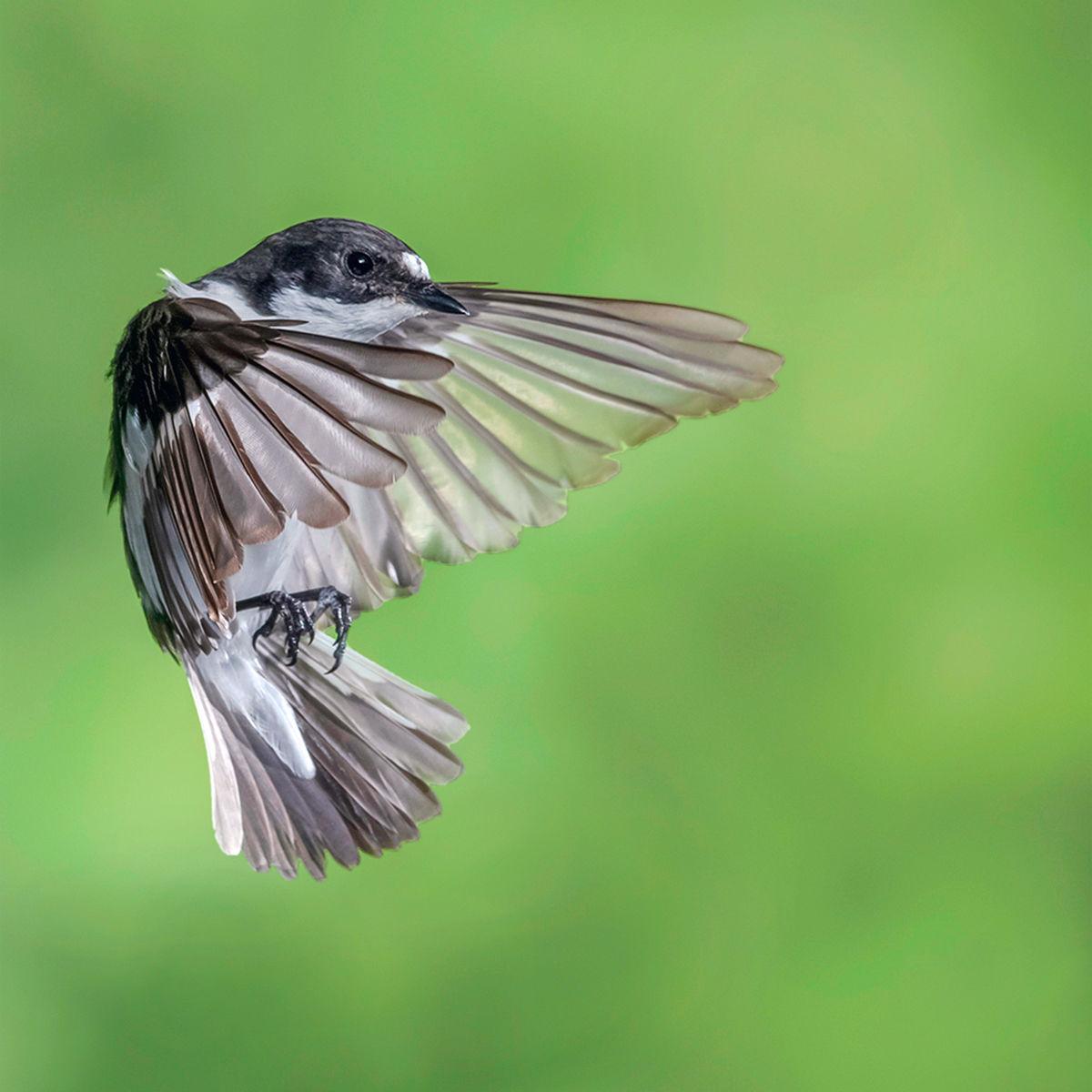 In Flight Pied Flycatcher
