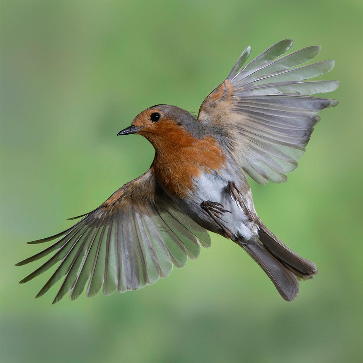 In Flight Robin