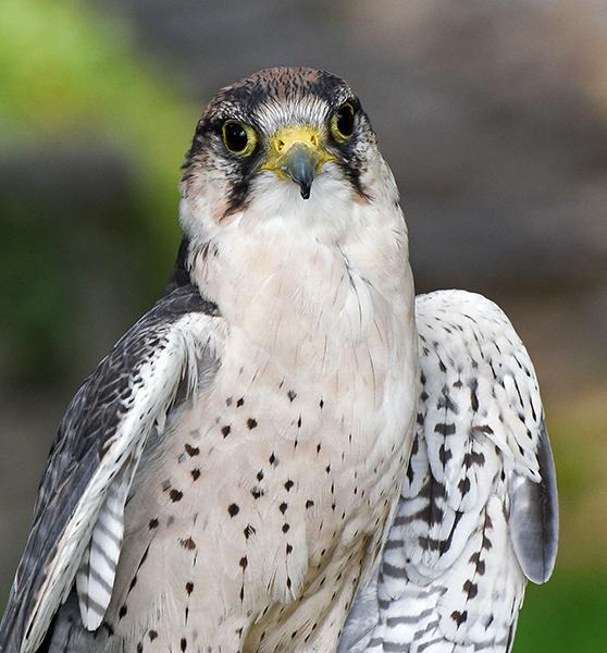 Laner Falcon