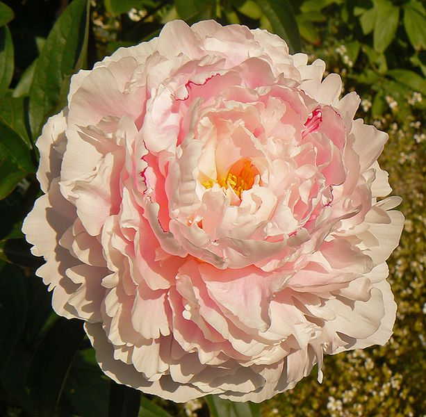 Peony Grown To Perfection