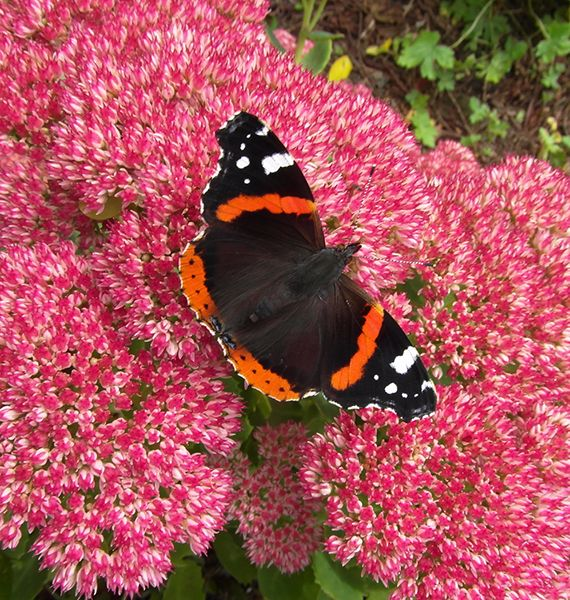 Red Admiral Feeding