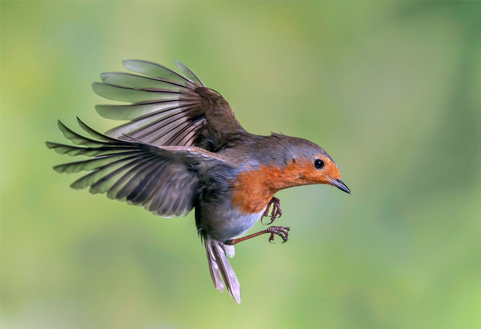 Robin Coming Into Land