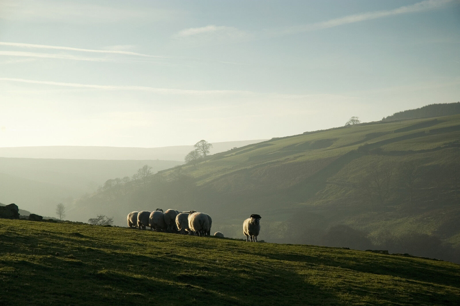 Sheep near Stanbury