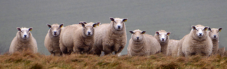 Who Are Ewe Looking At