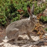 Wyoming White Tailed Jack Rabbit