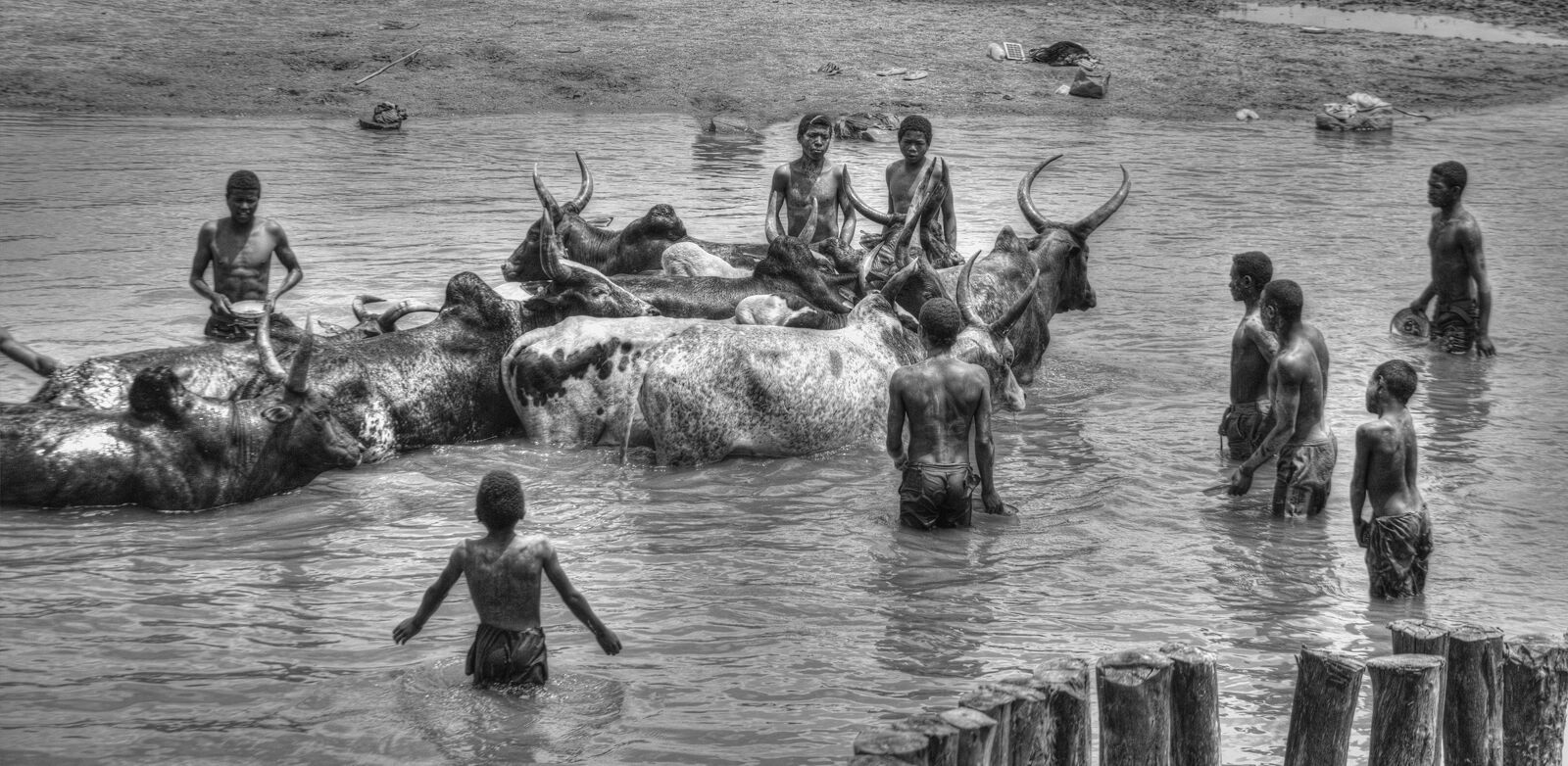 Zebu Cattle Wash