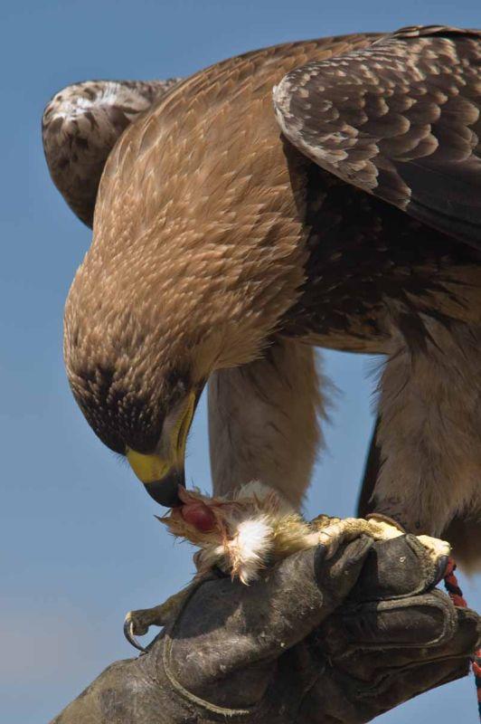 Tawny Eagle (Aquilla Rapax)