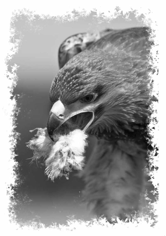 Eagle eating chick