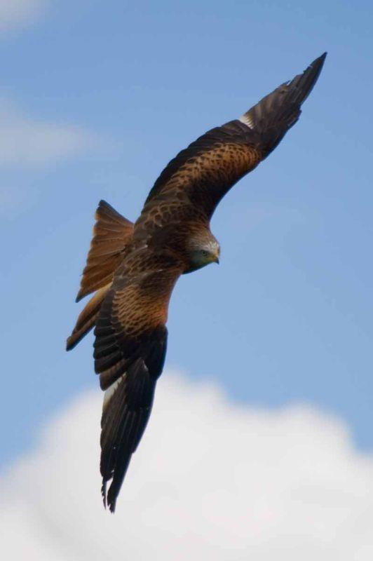 Red Kite(Milvus milvus)