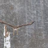 Common Buzzard, lift off.