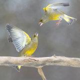Green finches squabbling