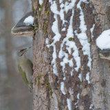 Male Grey headed woodpecker