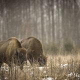 European Bison, bulls.