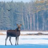 European Elk in early morning sunlight