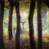 Fallow Deer Doe in Autumn