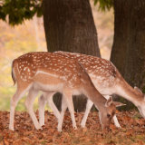 Fallow Deer (Does) In Autumn